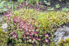 Blomstrar mossiga rosa färger för stenbräcka med koppformat ljust och mjuk-rosa färger att växa för blommor på våta mossiga stena arkivfoton