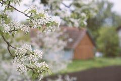 Blomstrar päronträdet i trädgården med det lantliga huset på bakgrund Royaltyfri Foto