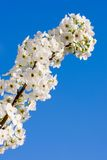 blomstrar pearen Fotografering för Bildbyråer
