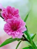 blomstrar persikan Royaltyfri Bild