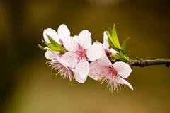 blomstrar persikan Arkivbilder