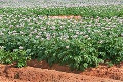 blomstrar potatisen Arkivfoto