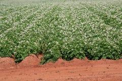 blomstrar potatisen Royaltyfri Bild