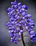 blomstrar purple Arkivbild