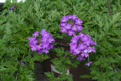 blomstrar purple Royaltyfri Foto
