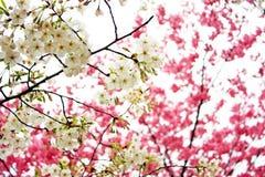 blomstrar rosa white för Cherry royaltyfri bild