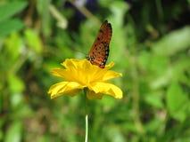 Blomstrar sugande nektar för fjärilen från gula kosmosblommor Royaltyfri Fotografi