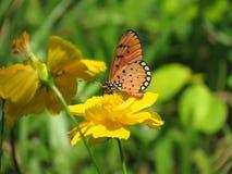 Blomstrar sugande nektar för fjärilen från gula kosmosblommor Royaltyfri Foto