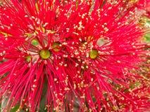 blomstrar treen för pohutukawaen för julcloseupnz royaltyfria foton