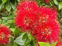 blomstrar treen för pohutukawaen för julcloseupnz arkivfoton