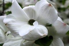 Blomstrar vit skogskornell för blomningen i vår Arkivbilder