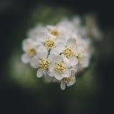 blomstrar white Arkivbild