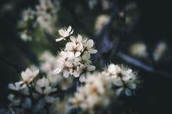 blomstrar white Royaltyfri Bild