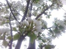 blomstrar white Arkivfoton