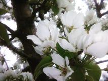 blomstrar white Royaltyfri Fotografi
