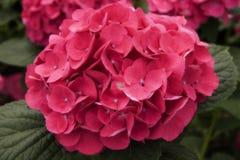 blomvanlig hortensia Royaltyfria Bilder