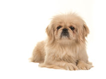 Blond adult tibetan spaniel dog lying on the floor with head up facing the camera Stock Images