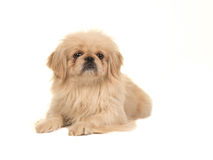 Blond adult tibetan spaniel dog seen from the side facing the camera Royalty Free Stock Image