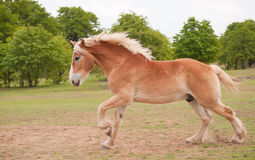 Blond Belgian draft horse galloping. In summer pasture stock images