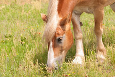 Blond Belgian draft horse grazing Royalty Free Stock Images