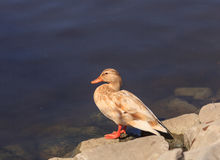Blond female mallard duck. Wild blond Mallard duck, Anas platyrhynchos, at the edge of a pond Stock Photos