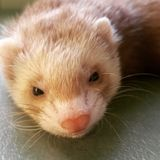 Blond ferret with a sweet little pink nose stock photography