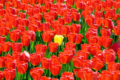 Blond. Flowerbed with tulips.All flowers of red color, and one yellow Royalty Free Stock Image