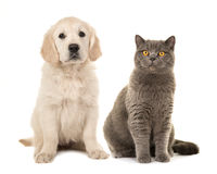 Blond golden retriever puppy dog and grey british short hair cat. Sitting facing the camera isolated on a white background Stock Image