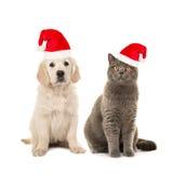 Blond golden retriever puppy dog and grey british short hair cat wearing santa`s hat. Blond golden retriever puppy dog and grey british short hair cat sitting royalty free stock image