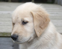 Blond golden retrievervalp Arkivbilder
