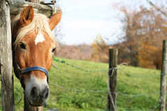 Blond häst Royaltyfria Foton