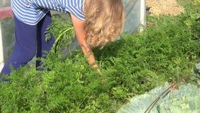 Blond hair farmer woman picking carrot in farm vegetable plantation. 4K stock video