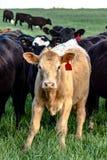 Blond heifer - vertical Royalty Free Stock Photo