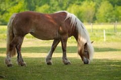 Blond Horse Royalty Free Stock Photo