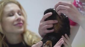 Blond kobiety mienia głowa jej mały czarny mops podczas gdy ręki czyści jego pielęgniarka one przyglądają się Zwierzęcy traktowan zdjęcie wideo