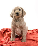 Blond Labradoodle Royalty Free Stock Photos