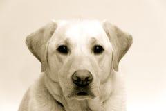 Blond Labrador stock fotografie