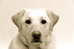 Blond Labrador. Watching into the camera Stock Photography
