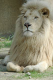 A blond lion. Laying in the grass and looking to the people Royalty Free Stock Photos