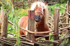 Blond pony Stock Photography