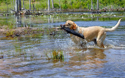 Blond Retriever Fetches Royalty Free Stock Photography