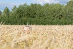 Blond Slavic happy kid boy at a ripe rye wheat field royalty free stock photos