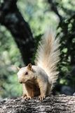 Blond squirrel with tail sticking straight up royalty free stock image