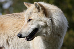 Blond wolf closeup head and shoulders Royalty Free Stock Images