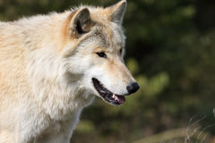 Blond wolf closeup head and shoulders Royalty Free Stock Image