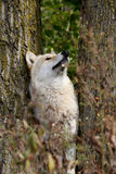 Blond wolf between trees looking up Royalty Free Stock Images
