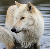 Blond wolfe standing in water Royalty Free Stock Photography