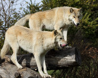 Blond wolves on logs looking down royalty free stock photo