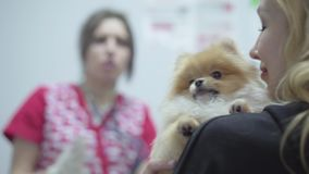 Blond woman holding small pomeranian spitz who afraids to get vaccination in the veterinary clinic close up. Blured. Blond woman holding small dog pomeranian stock video footage