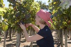 Blonda druvor för kvinnaCuting blått från vingård Arkivbilder